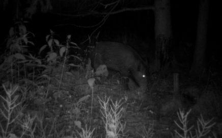 Wildschwein_nacht